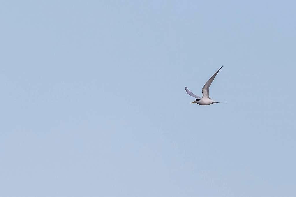 コアジサシの飛翔_f0044056_14194219.jpg