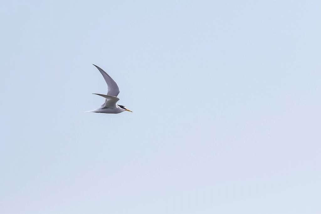 コアジサシの飛翔_f0044056_14203869.jpg