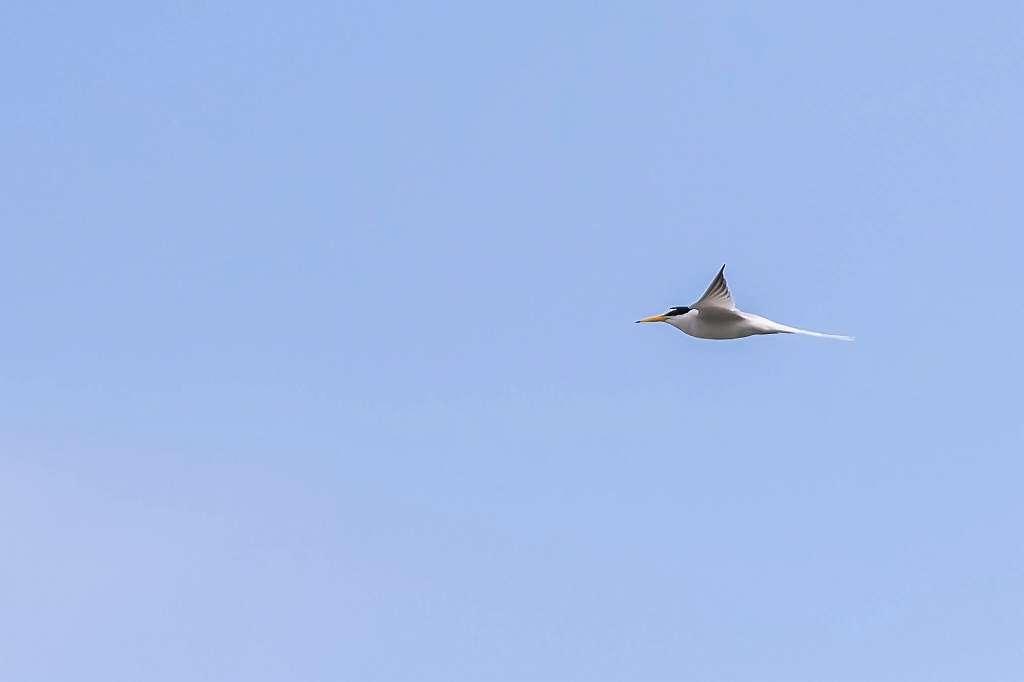 コアジサシの飛翔_f0044056_14205858.jpg