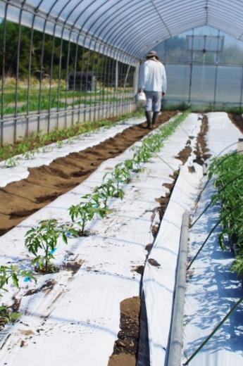 ミニトマト苗を植えました_c0110869_04231848.jpg
