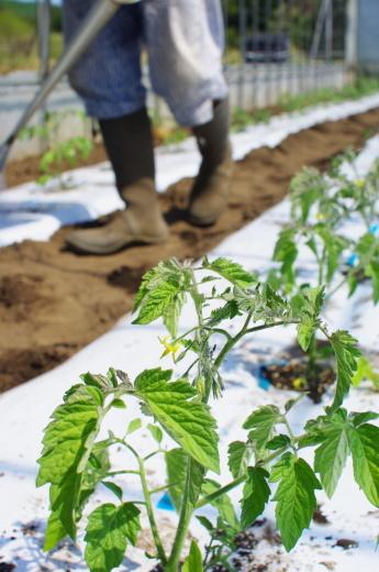 ミニトマト苗を植えました_c0110869_04234468.jpg