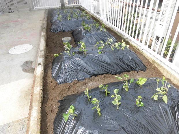 さつまいもの苗植えをしました。年長さん、秋には収穫をお願いします!!_a0382671_16360622.jpg