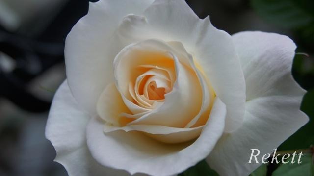 バラに癒されます~❤_f0029571_01455765.jpg