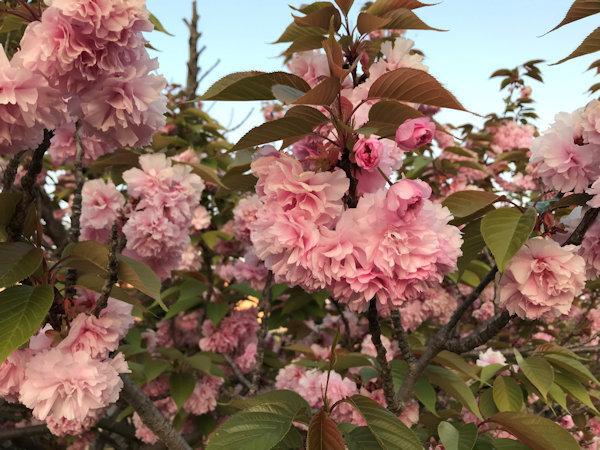 花便り4月&5月♪_a0143686_11462303.jpg