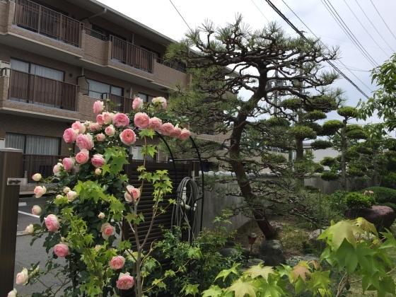 松の木の芽かき_f0084492_12402964.jpeg