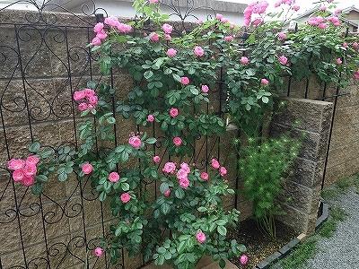 きれいに開花しない「アンジェラ」_e0289203_15285432.jpg