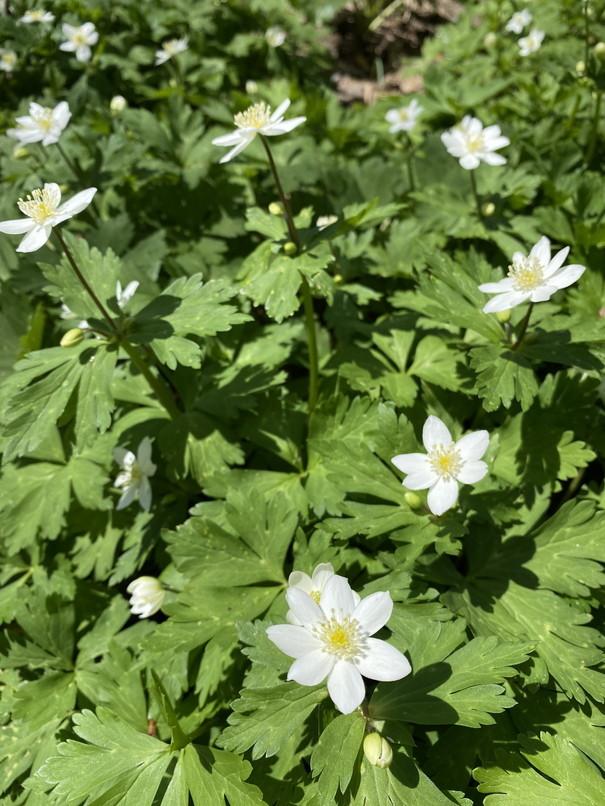 """2020年5月 『コロナに負けるな!花々も応援している』 May 2020 \""""Overcome COVID19! Flowers with Us!\""""_c0219616_18305031.jpg"""