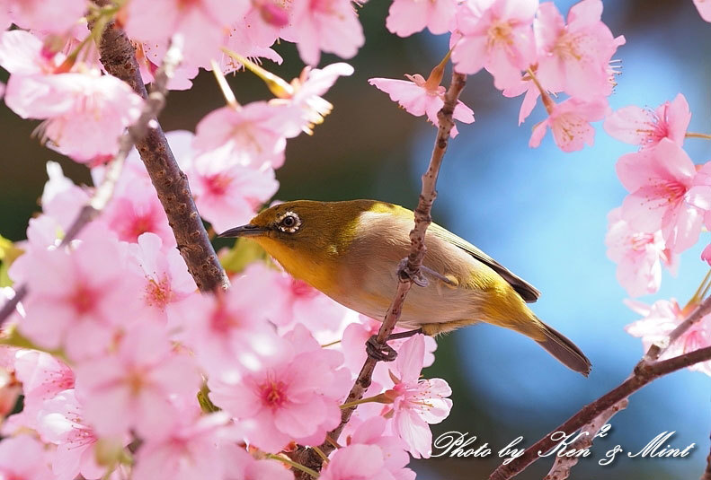 桜満開の時の「メジロ」さん♪  ー在庫からー_e0218518_15064670.jpg