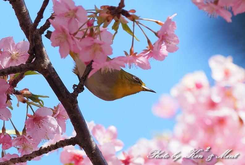 桜満開の時の「メジロ」さん♪  ー在庫からー_e0218518_15065933.jpg