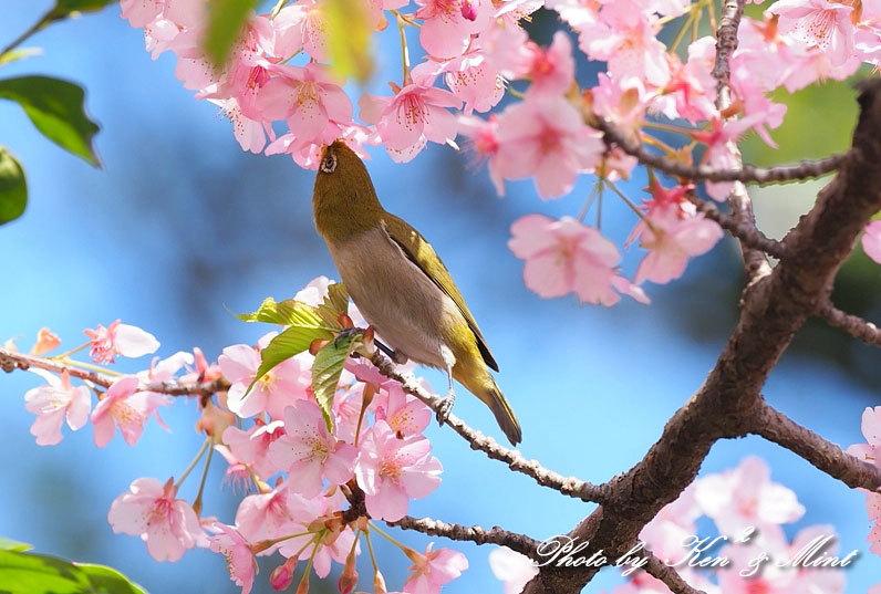 桜満開の時の「メジロ」さん♪  ー在庫からー_e0218518_15071278.jpg
