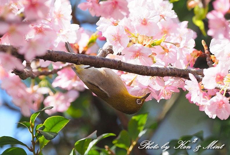 桜満開の時の「メジロ」さん♪  ー在庫からー_e0218518_15072914.jpg