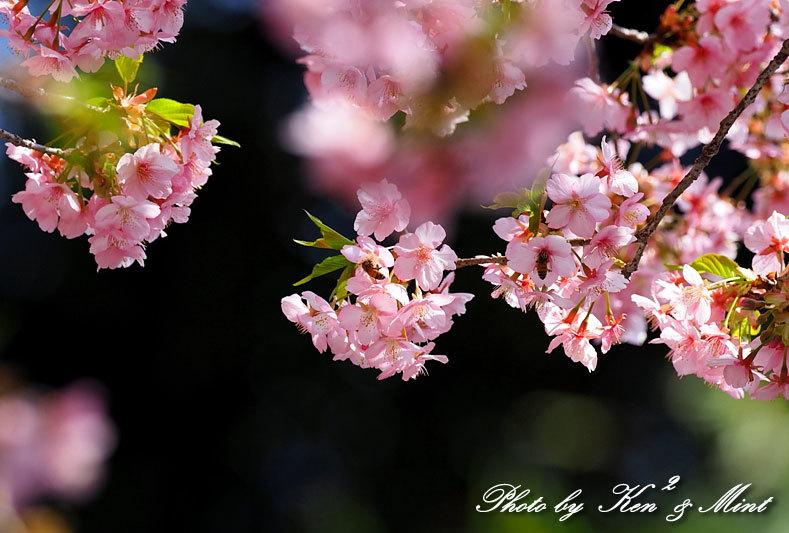 桜満開の時の「メジロ」さん♪  ー在庫からー_e0218518_15110769.jpg