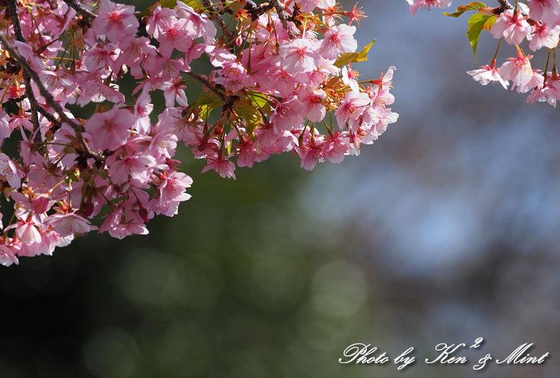 桜満開の時の「メジロ」さん♪  ー在庫からー_e0218518_15113560.jpg