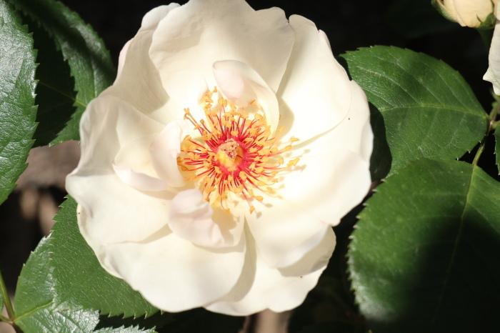 5月 庭で咲く バラの花_d0150720_12413296.jpg