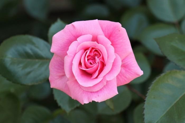 5月 庭で咲く バラの花_d0150720_12415169.jpg