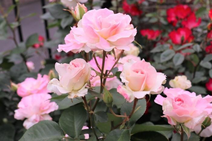 5月 庭で咲く バラの花_d0150720_12423523.jpg