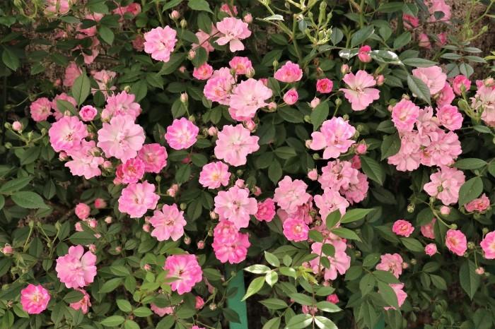 5月 庭で咲く バラの花_d0150720_12425796.jpg