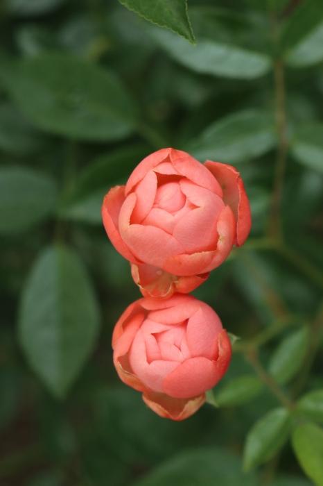 5月 庭で咲く バラの花_d0150720_12443724.jpg