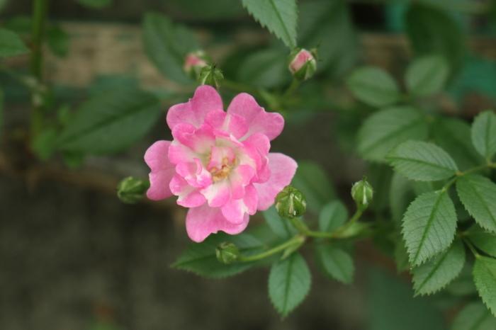 5月 庭で咲く バラの花_d0150720_12445699.jpg