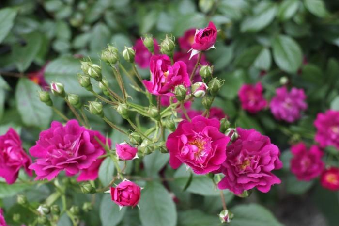 5月 庭で咲く バラの花_d0150720_12452949.jpg