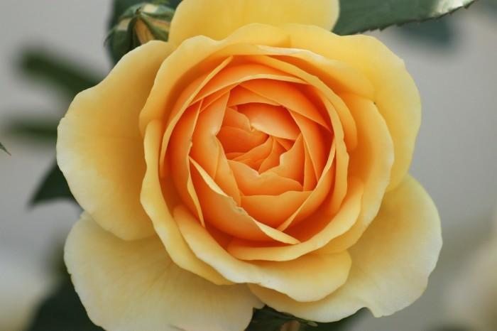 5月 庭で咲く バラの花_d0150720_12461652.jpg