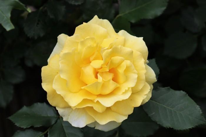 5月 庭で咲く バラの花_d0150720_12480633.jpg