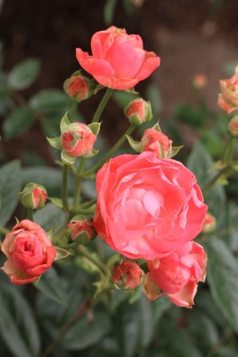 5月 庭で咲く バラの花_d0150720_12485973.jpg