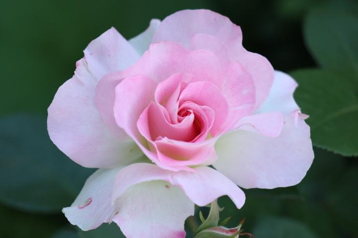 5月 庭で咲く バラの花_d0150720_17302674.jpg
