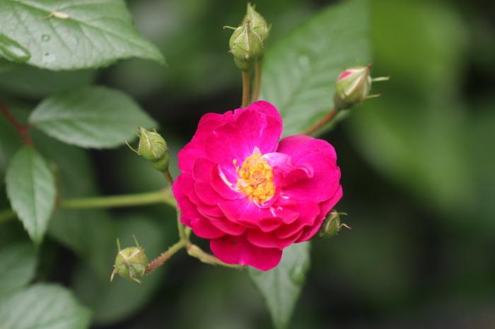 5月 庭で咲く バラの花_d0150720_17332575.jpg