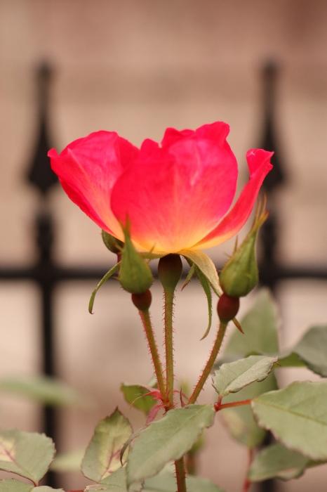 5月 庭で咲く バラの花_d0150720_17363641.jpg