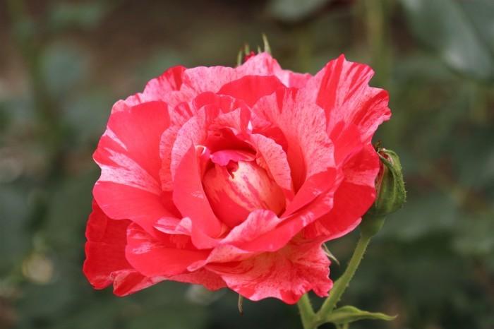 5月 庭で咲く バラの花_d0150720_17373058.jpg
