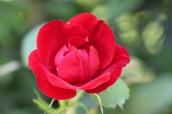 5月 庭で咲く バラの花_d0150720_17381674.jpg