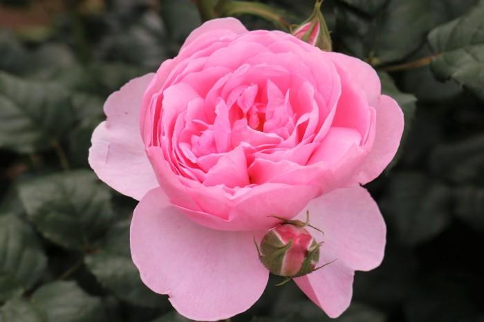 5月 庭で咲く バラの花_d0150720_17504798.jpg