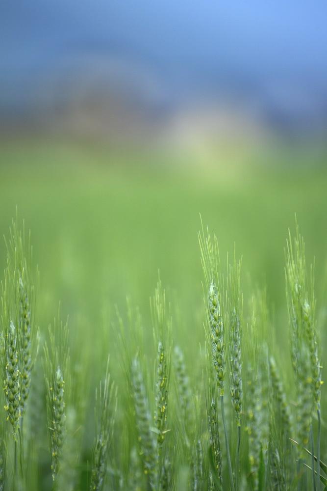 麦の花_d0265224_20262237.jpg