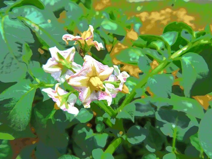 2020年5月18日 ジャガイモの花  !(^^)!_b0341140_15385643.jpg