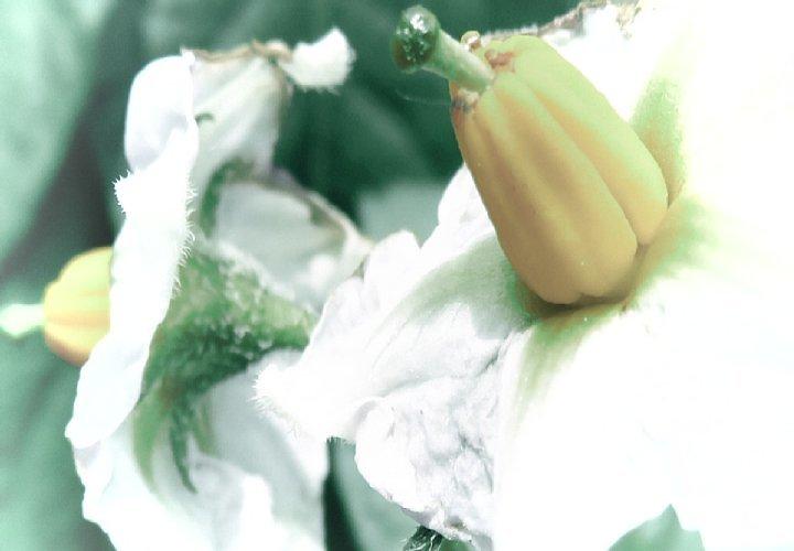 2020年5月18日 ジャガイモの花  !(^^)!_b0341140_15414102.jpg