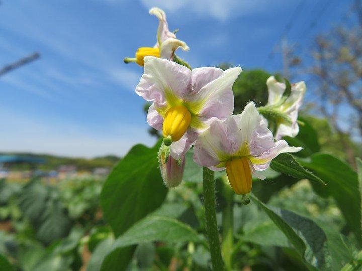 2020年5月18日 ジャガイモの花  !(^^)!_b0341140_15435770.jpg