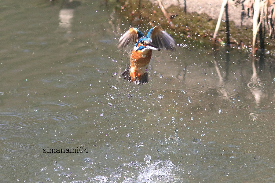 カワセミ水からの飛び出し_e0077041_1129539.jpg