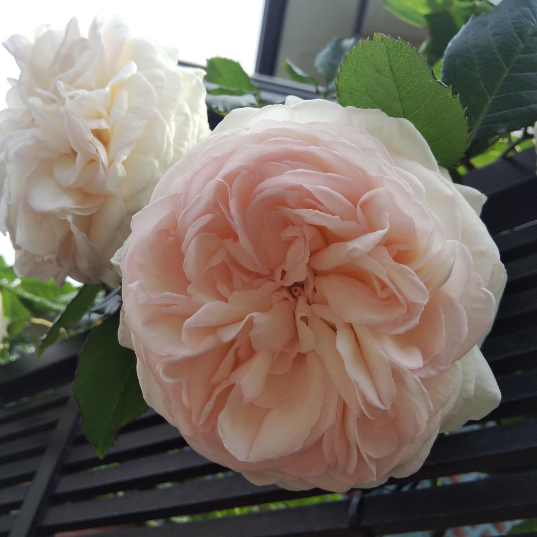 200516 大輪の薔薇_f0164842_22282277.jpg
