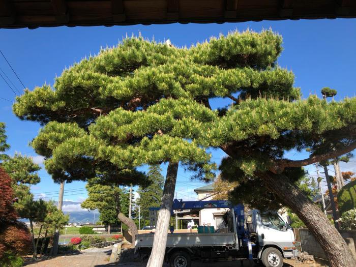 赤松の剪定・芽摘み_c0112447_16303531.jpg