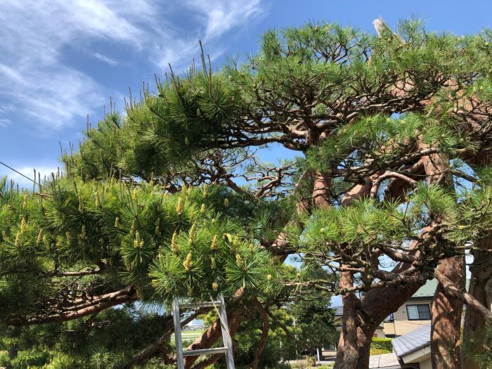 赤松の剪定・芽摘み_c0112447_16374659.jpg
