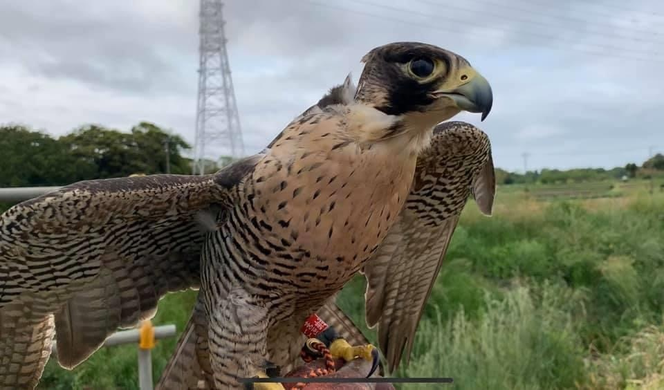 保護ハヤブサの野生復帰と、足環・発信機での行動追跡調査_c0132048_15041420.jpeg