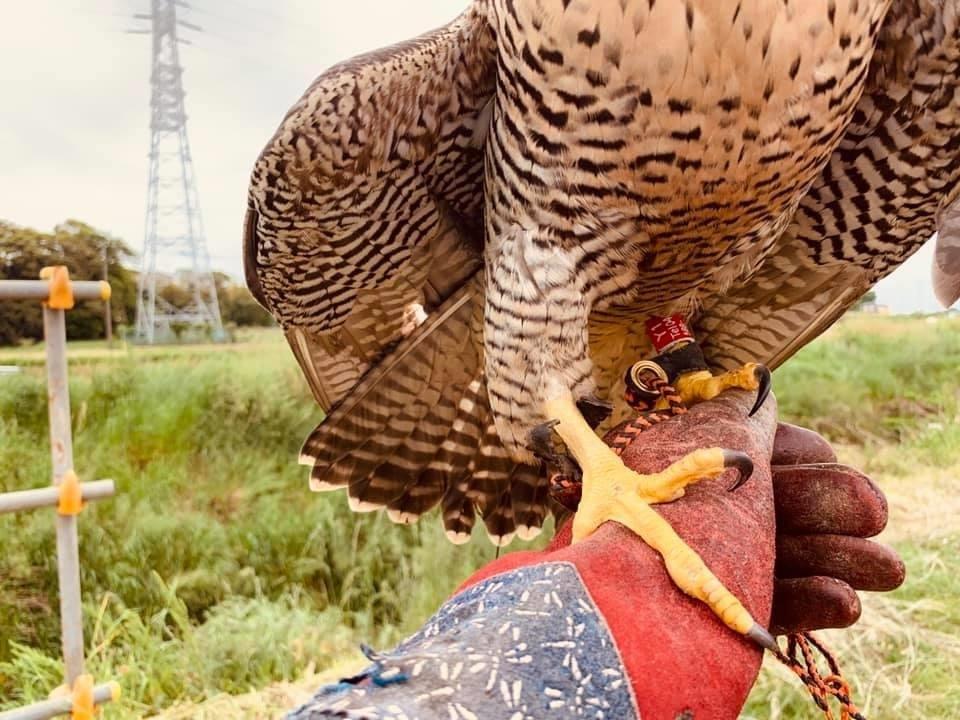 保護ハヤブサの野生復帰と、足環・発信機での行動追跡調査_c0132048_15051892.jpeg