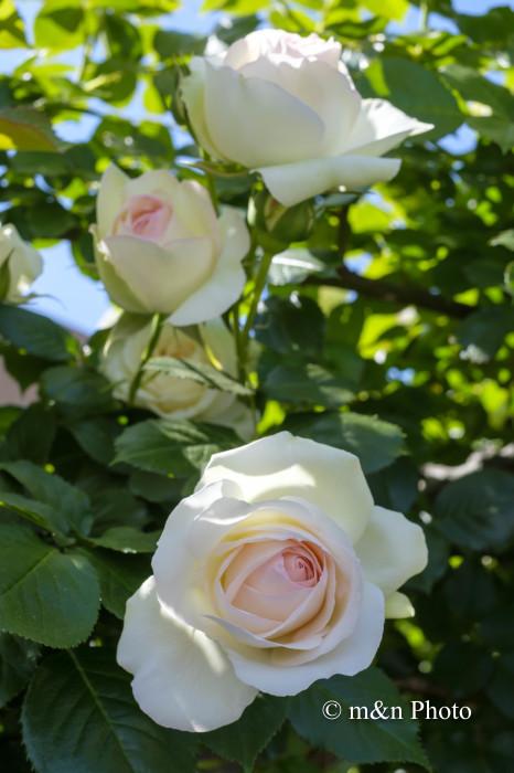 バラの季節_e0321360_14085999.jpg
