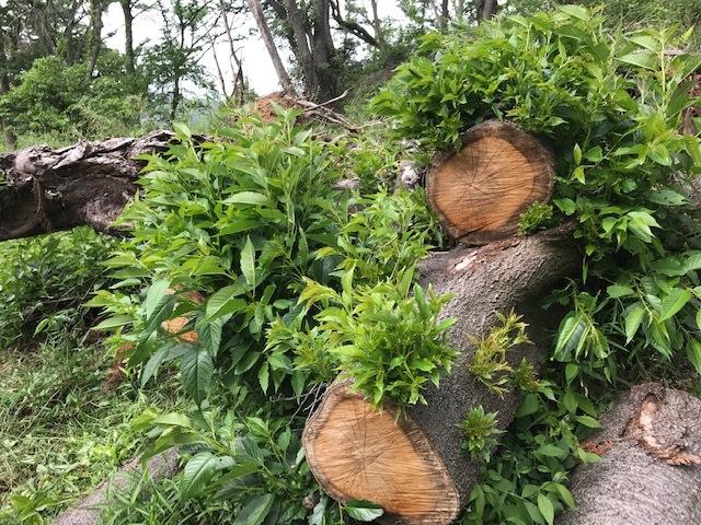 台風で根返りヤマザクラの幹に胴吹き5・15感動シーン(上)_c0014967_11170928.jpg
