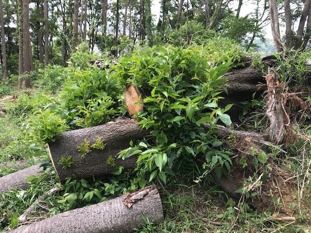 台風で根返りヤマザクラの幹に胴吹き5・15感動シーン(上)_c0014967_11172576.jpg