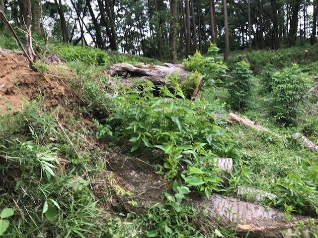 台風で根返りヤマザクラの幹に胴吹き5・15感動シーン(上)_c0014967_11181994.jpg