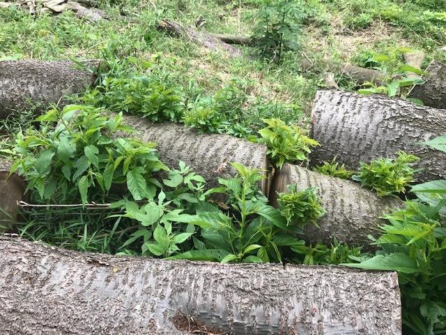 台風で根返りヤマザクラの幹に胴吹き5・15感動シーン(上)_c0014967_11190056.jpg