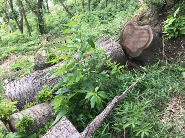 台風で根返りヤマザクラの幹に胴吹き5・15感動シーン(上)_c0014967_11192073.jpg