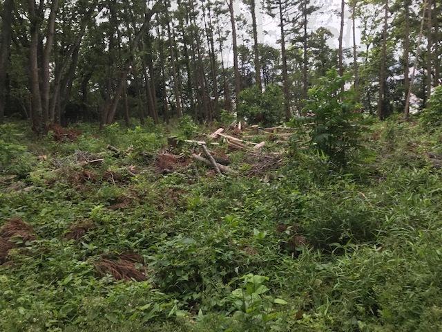 台風で根返りヤマザクラの幹に胴吹き5・15感動シーン(上)_c0014967_11195954.jpg
